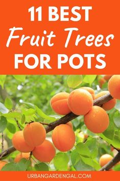 fruit garden Growing fruit trees in containers means you can grow your own fruit at home even if you have limited space. In this article Ive listed 11 of the best fruit trees to grow in pots. Potted Fruit Trees, Fruit Trees In Containers, Dwarf Fruit Trees, Growing Fruit Trees, Citrus Trees, Fruit Plants, Fruit Garden, Growing Tree, Garden Trees