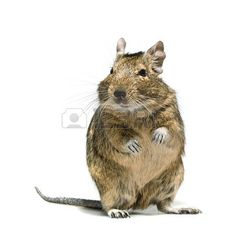 Picture of degu rodent pet with tear in eye, full-length closeup isolated on white background stock photo, images and stock photography. Degu, Tears In Eyes, Little Critter, Rodents, Amphibians, Animal Kingdom, Memes, Close Up, Stock Photos
