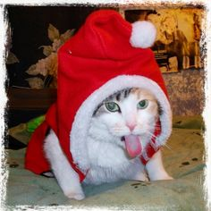 "My daughters kitty ""JellyBean"" not wanting to play Santa!"