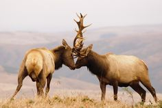 Tule elk males battle every autumn in Point Reyes National Seashore, California.