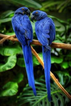 ブルー オウム