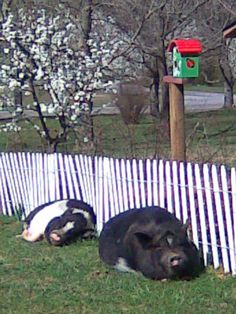 Dogwoods blooming, potbelly pigs napping