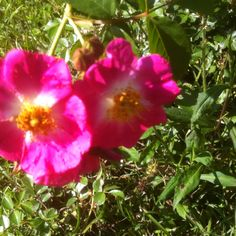 Great-Grandma's Rose! Sister Love, Dean, Rose, Garden, Wall, Flowers, Plants, Animals, Pink