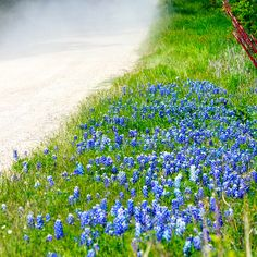 Country Road Bluebonnet Patch