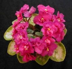 Rob's Squeeze Toy - The Violet Barn - African Violets and Pretty Flowers, Pink Flowers, Perennial Flowering Plants, Potted Plants, Bushes And Shrubs, Plant Order, The Violet, Free Plants, White Leaf