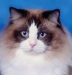 rag doll cat - maybe I'll have one someday