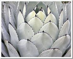 Agave parryi var. huachucensis  Enjoy a walk in the New World Desert with blogger Bamboo, Succulents and More. UC Botanical Garden at Berkeley