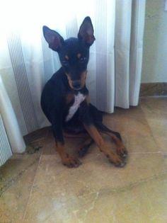 Adopta a Roque ( Pinscher miniatura ) - #adopta #perros