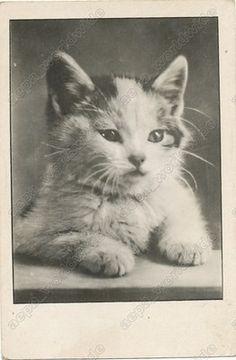 1957 Cat Kitty Kitten Portrait Vintage Old Photo Postcard | eBay