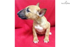 AKC Girl 2703 | Bull Terrier puppy for sale near Fort Lauderdale, Florida | 32eaaa71-fe11