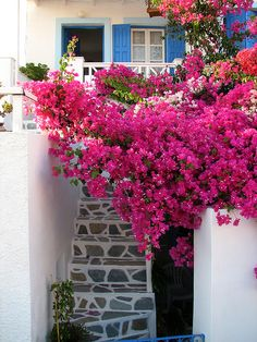 Bougainvillea - can't grow em in zone 5 but a pot for the patio makes me feel like I'm on vacation :-D