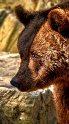 Bear Predator Furry Animal Muzzle 720x1280 Wallpaper