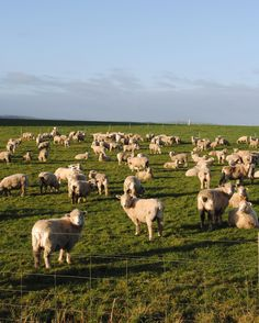 Where else but New Zealand the #sheep capital of the world! #nofilter #travel #instatravel #travelgram #newzealand #southland #hashtag #worldtravelpics #explore #travelawesome #roadtrip #farm