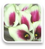 Mini Callas picture gallery for weddings and events, wholesale, retail, florist, wedding event planner Wedding Event Planner, Wedding Events, Dark Purple Flowers, Calla Lily, Picasso, Mango, Crystals, Pink, Manga
