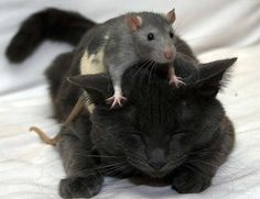 The rat sat on the cat....
