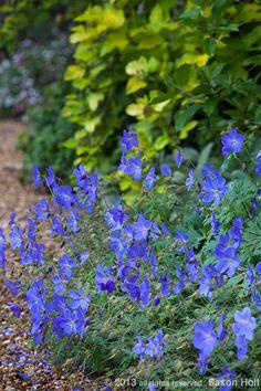 """""""Johnson's Blue"""" Perennial Geranium (Full sun/part shade.)"""