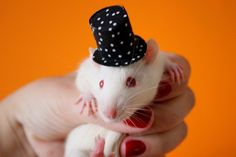 Linus with Schroeder's top-hat Funny Rats, What Is Cute, Love Hat, Honey Pie, Dog Cat, Cute Animals, Pets, Top Hats, Animals And Pets