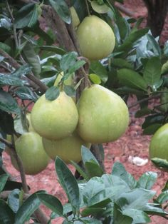 Pomeloes on tree