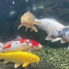 Fish Pond Gardens, Koi Fish Pond, Fish Ponds, Beautiful Nature Scenes, Beautiful Fish, Animals Beautiful, Cool Fish Tanks, Koi Art, Tropical Fish