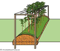 Pflanzanleitung Himbeeren - Bei Herbstsorten kann alternativ ein Knotengitter mit viereckigen Maschen (Maschenweite ca. 15 bis 20 cm) etwa 80 cm über Boden befestigt werden. Die Ruten wachsen durch die Gittermaschen und müssen nicht angebunden werden.