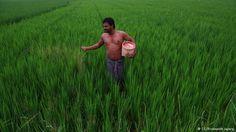 Una total revolución verde, sin pesticidas, transgénicos ni productos químicos se hizo realidad hace dos temporadas y lo consiguió Kumar un joven agricultor del distrito de Nalanda en Bihar que está considerado uno de los más pobres de la India.