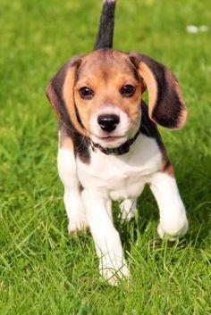 Beagle puppy #MasterDogTrainingandSocializin #beagle puppy #MasterDogTrainingandSocializing