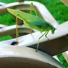 #insectcloseup #katydid #leafhopper #backyard