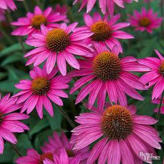 Native to North America and reminiscent of a daisy, echinacea -- or coneflower -- has a long medicinal history and an equally storied spot in a variety of garden types. This picture of the flower shows a more brilliant shade of its classic pink hue. Echinacea attracts butterflies and tends to be resistant to deer, too.