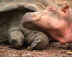 "A baby hippo that survived the tsunami on the Kenyan coast formed a strong bond with a giant male century-old tortoise. They swim, eat and sleep together,"" The hippo thinks the tortoise is his mother. Unusual Animal Friendships, Unlikely Animal Friends, Unusual Animals, Cute Animals, Odd Animals, True Friendships, Baby Animals, Baby Hippopotamus, Giant Tortoise"