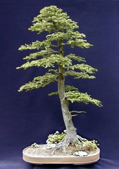 Western Hemlock Bonsai Tree