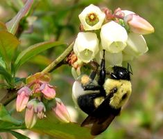 http://beeraw.com/raw-honey-collection/blueberry-honey.html  Bee on a blueberry blossom