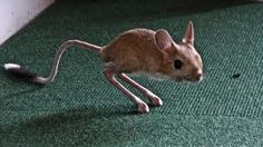 legs! i challenge you, jerboa, to a jumping contest.