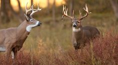 Whitetail Hunting Tips: How to Use Deer Calls, Scents, and Decoys The key to drawing a wary whitetail buck into bow range can often hinge on downright deceit. Calls to make grunts, bleats, and rattles can all play on a buck's sense of hearing and his natural curiosity. Scents, which play a huge role in how deer interact with each other,.....