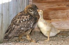 The Owl and Her Gosling: After years of failed eggs, Gandolph the Owl became increasingly frustrated and distressed at the North East Falconry Center in Scotland. When the man who ran the center, John Barrie, was given a goose egg by a neighbor, he saw an opportunity to soothe Gandolph's angst. There was some concern, as owls will ignore or kill an egg different than their own. Not Gandolf: The egg hatched, and she immediately took to mothering the baby, who quickly imprinted on her.