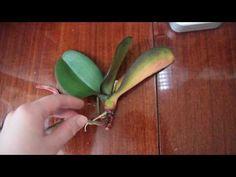 Отделение детки орхидеи. Мои цветы на новой кухне - YouTube