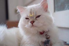 🌙🌟 ถ้าติดผิดรูปหน่อยก็คงกลายเป็นเปาบุ้นแทนที่จะเป็นตัวแทนแห่งดวงจันทร์ Salmon Cat, Cats, Animals, Gatos, Animales, Kitty Cats, Animaux, Animal Memes, Cat Breeds