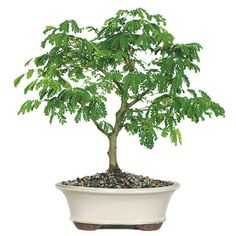 The Brazilian Rain Bonsai Tree is a classic example of a beautiful bonsai tree with its exotic appearance and name and will add a unique feeling to your home decor. Interestingly enough, you can visually see this tree respond to the ambient conditions around the tree. It is the closest you can get to owning a weather station without actually owning one! The leaves will darken when the temperature is high and begin to fold and close when it rains.