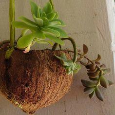 """Pot suspendu en noix de coco :  Couper la noix de coco en deux en enlevant juste un """"petit chapeau"""". Bien la curer puis percer trois trous pour y glisser les ficelles de suspension. Mettre quelques billes d'argile au fond puis de la terre."""