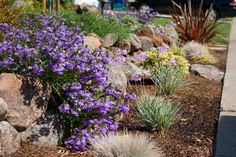 Saunders Designs - No more lawn!  Colorful, gorgeous low-water low-maintenance front yard landscape renovation. - Novato, CA, United States