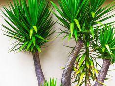 Yucca Elephantipes, Plants, Plant, Planets