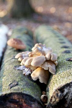"Grow you own mushrooms.  These ""mushroom logs"" are logs inoculated with hardwood mushroom plugs available from http://www.groworganic.com/seasonal-items/mushroom-kits.html"
