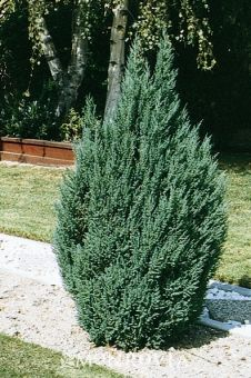 Monrovia's Blue Point Juniper details and information. Learn more about Monrovia plants and best practices for best possible plant performance.