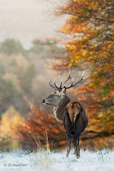 What's The Story Autumn Glory? - deer - stag - Cervus elaphus - Pride and Prejudice - fine art photography print