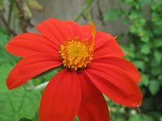 Mexican sunflower, Tithonia rotundifolia.