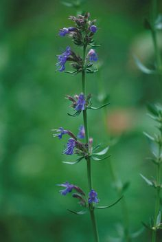 The Hyssop Plant - Hyssopus officinalis