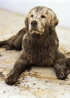 Golden in its natural element. OMG - That's what Bebe looked like after diving into the muddy canal bank chasing the ducks! ... Photo by Bruce Weber