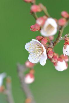 ume Cherry Blossom Images, Cherry Blossom Japan, Almond Blossom, Beautiful Flowers Garden, Flowers Nature, Beautiful Gardens, Asian Flowers, Green Flowers, Spring Blossom