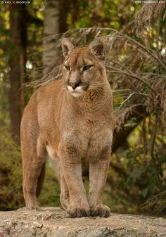 Cougar Puma Photo Gallery