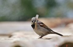 Moineau domestique (Passer domesticus), House Sparrow