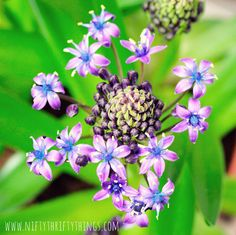 {floral friday #96} | {nifty thrifty things}Scilla peruviana